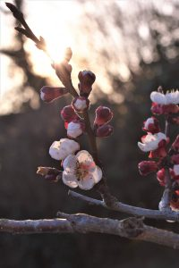 Fiori di albicoco - Grazie referenza per simply walter - Katrin Walter