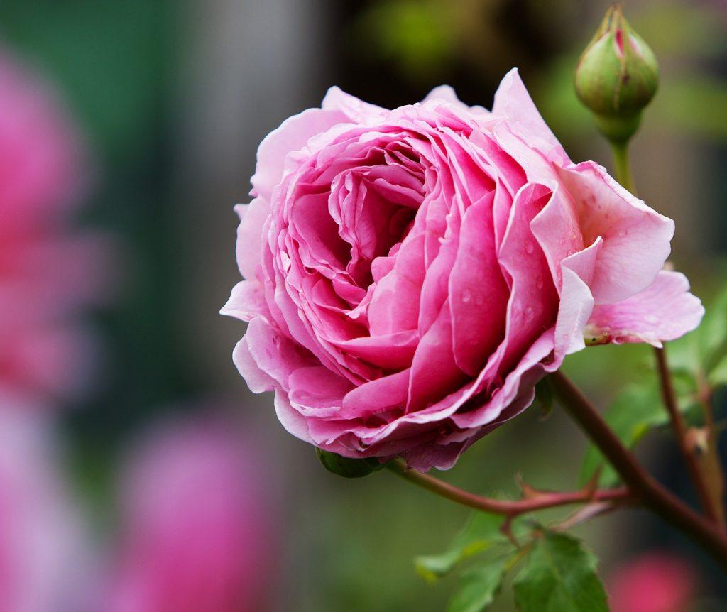 La rosa che si vede in foto è fiorita per dire che le aspettative in Katrin Walter sono state soddisfatte appieno. Referenza per Katrin Walter