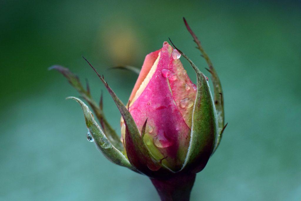 """Il bocciolo di rosa per Katrin Walter in foto per rilevare il detto italiano """"se son rose fioriranno"""". Fiorita! Referenza per Katrin Walter"""