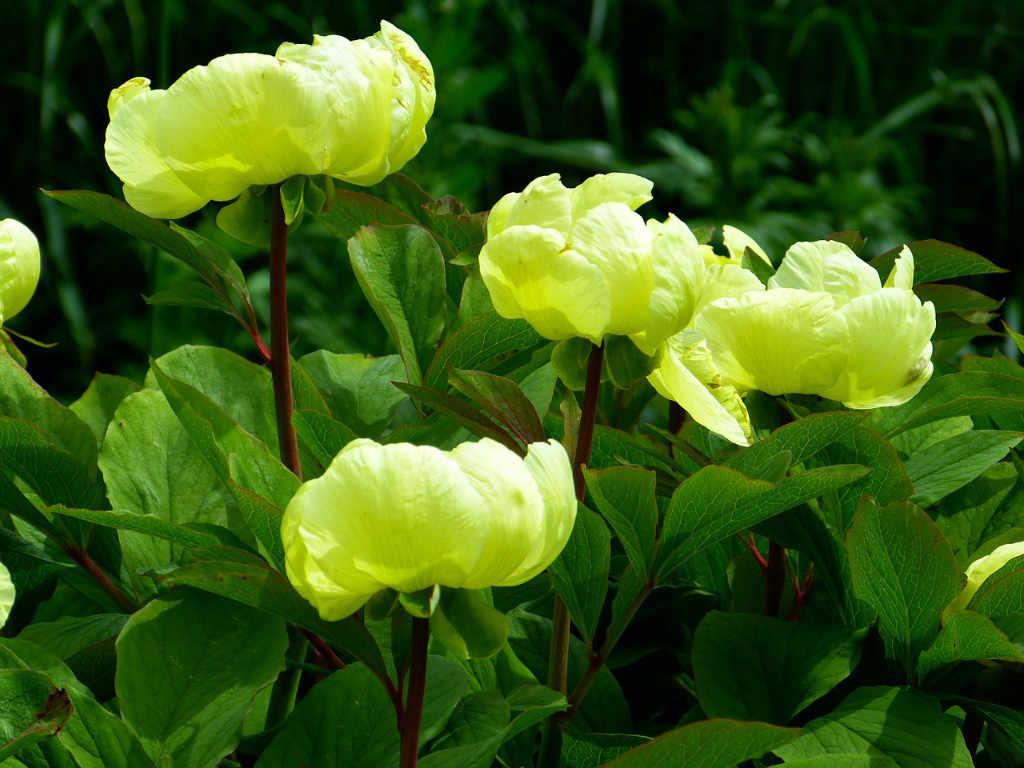 Peonie in giallo-verde per ringraziare per la referenza di Vinisola per Katrin Walter - simply walter. Foto: Pixabay
