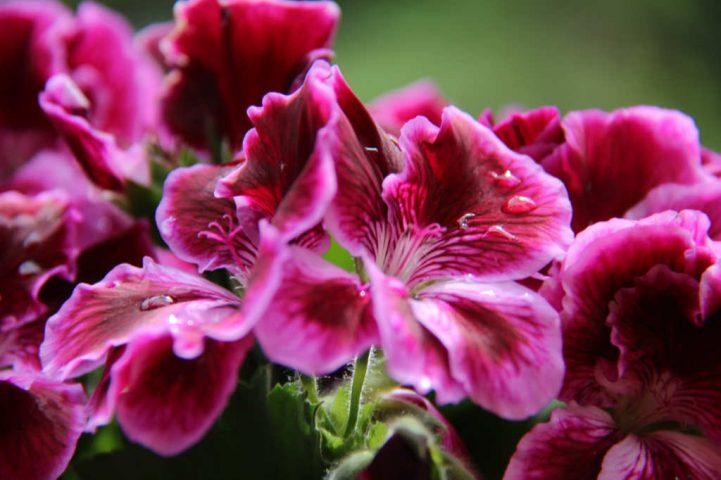 I Gerani imperiali in un bel pink come ringraziamento per la bella referenza da Norbert Tischelmayer per Katrin Walter