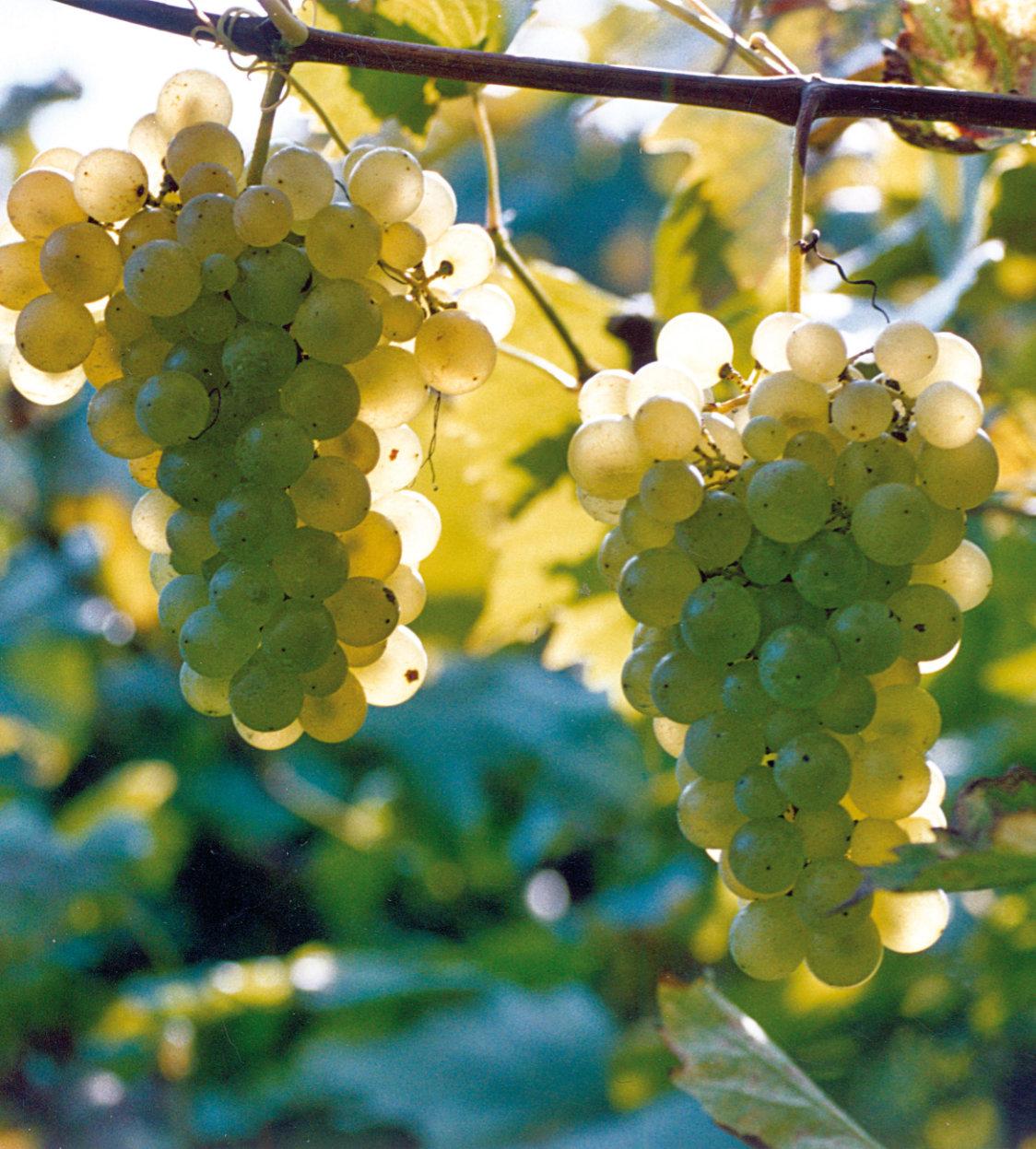 I grappoli di uva Durella belli maturi per la produzione di Lessini Durello doc. Foto Consorzio Lessini Durello