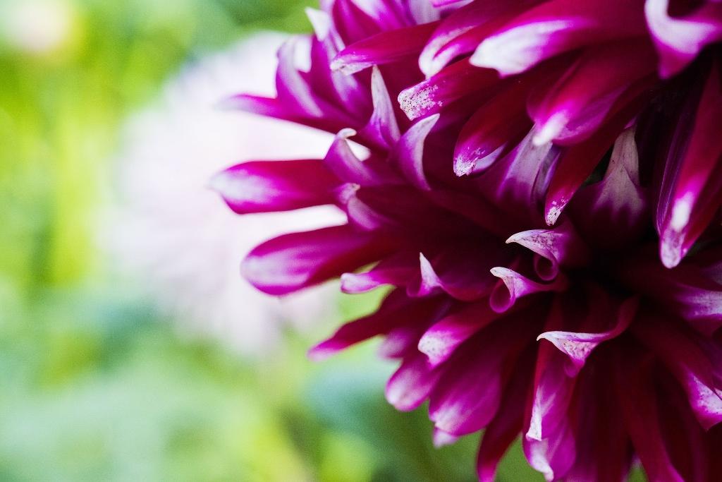 Macrofotografia dei petali in rosa fucsia brillante di un fiore aster su un fondo verde. Foto: Pixabay-newsong